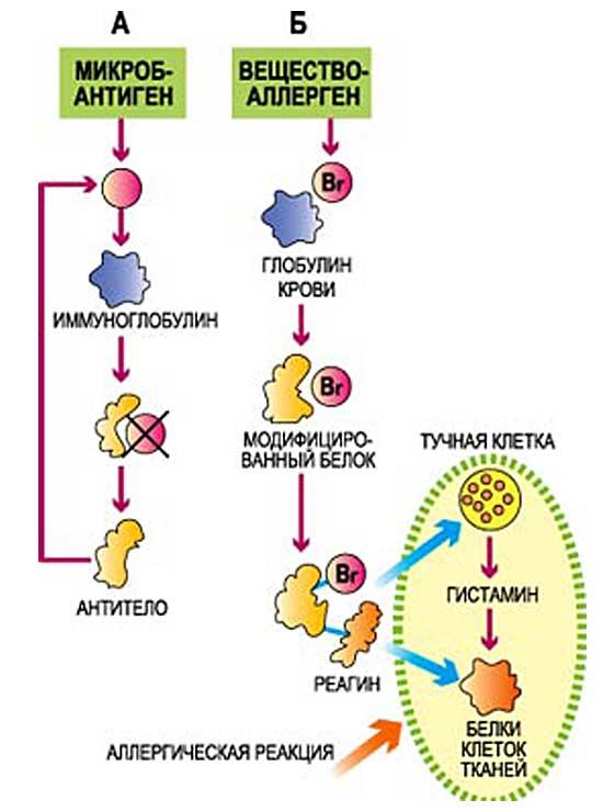 аллергия на цветение кипариса лечение